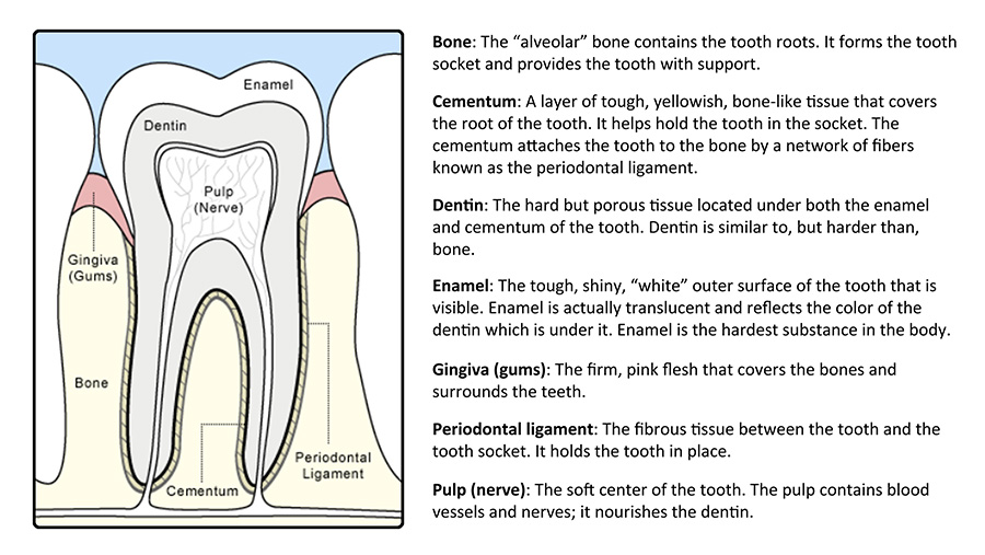 anatomy of a tooth graphic with bone, cementum, dentin, enamel, gums, periodontal ligament, and pulp